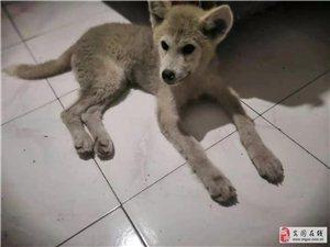 刚买的秋田犬,没耐心,不想养了,有要的来