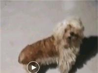 泰迪宠物狗