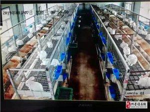 現有種兔、肉兔常年大量出售
