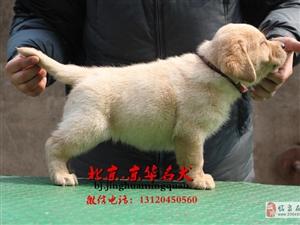 北京拉布拉多导盲犬出售宽嘴大头拉布拉多
