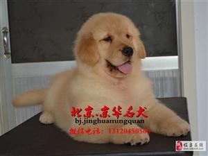 纯种金毛幼犬多少钱金毛幼犬体重多少金毛怎么卖