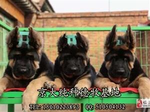 ?#26412;?#29287;羊犬价格三个月德牧幼犬出售德牧犬舍
