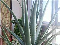 出售自養六年10個月的美國庫拉索蘆薈植物帶最大號瓷