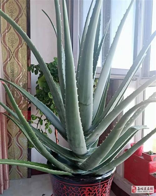 出售自养六年10个月的美国库拉索芦荟植物带最大号瓷