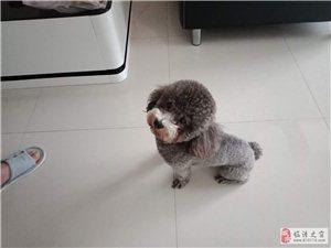 纯种泰迪犬灰色,一岁半,以注射育苗3针