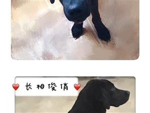 酷狗寻亲(黑色拉布拉多)