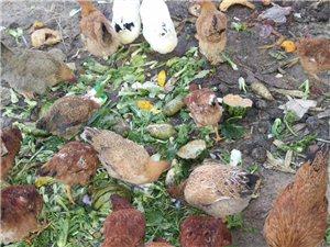 生态土鸡 ,散养鸡,   从不添加饲料!