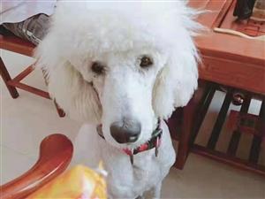 转让狗狗,白色 公巨贵