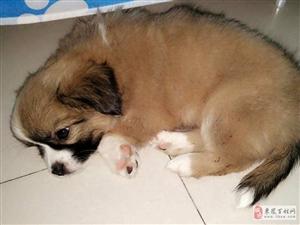 澳门新濠天地官网首页出生2个月的可爱狗仔宝宝