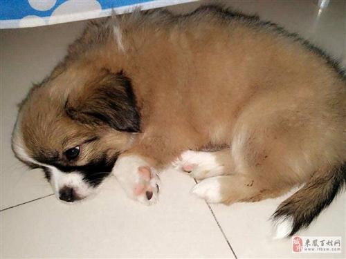 出售出生2个月的可爱狗仔宝宝
