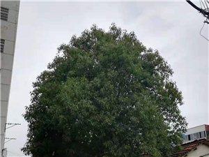 我家門前的兩棵香樟樹出售