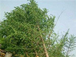 銀杏苗木專供13153980988