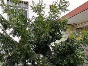 家养22年野生红豆杉,售价一万元