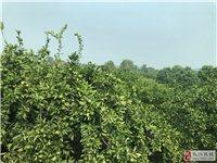 枝江鲁港农房出售占地面积180平桔园柑橘树800颗