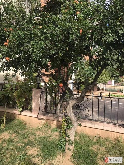 桂花树、石榴树、木瓜树、玉兰树,10年以上树龄