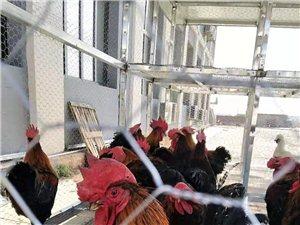 出售林地散养公鸡