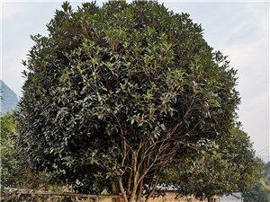 长阳龙舟坪镇土地坡村四组现有桂花树出售!
