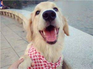 5��月左右的金毛幼犬,母的,��x已做