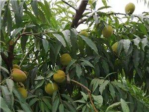 鹰嘴桃果树八百株急于转让