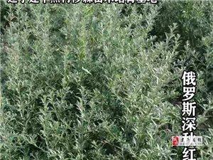 辽宁建平然冉沙棘苗木培育基地各种规格的沙棘苗木,远销国内外。