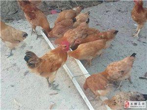 大悟新城金岭红畈村农家土鸡/土鸭/绿壳鸡蛋/鸭蛋对外出售
