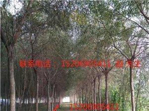 900棵左右景觀用紅垂柳 12-15公分直徑,3米