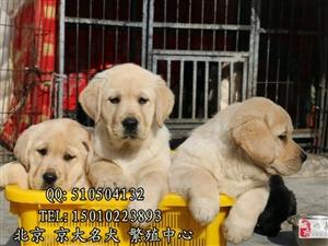 ��拉布拉多犬北京市拉布拉多幼犬出售京大犬�I