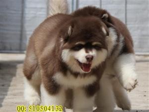 熊版阿拉斯加犬��阿拉斯加�r格京大犬�I