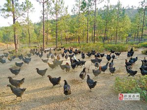 郎溪县十字镇苗木种植家庭农场出售生态散养鸡鹅