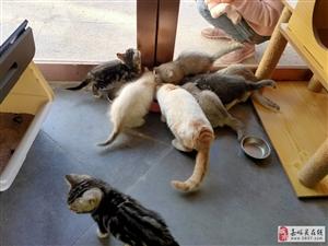 渐层、英短、美短欢迎撸猫、出售