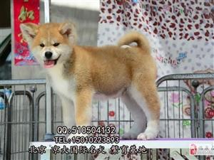 赛级秋田犬三个月秋田幼犬出售秋田犬舍