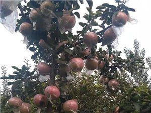 蘋果采摘 零售批發 送貨上門 園內采摘 找立中果園