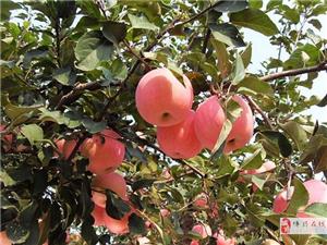 博兴苹果采摘 苹果批发 个大味甜 接待团体采摘