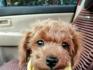 出售四个月的泰迪狗