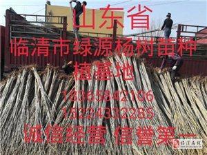 供应当年苗1-3公分107速生杨树苗
