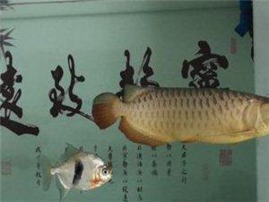 出一条金龙鱼 仟湖过背