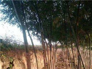 合陽有大面積國槐、紅葉李樹木出售