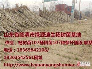 杨树苗价格107速生杨树苗种条扦插段
