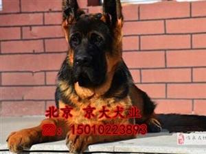 锤系德牧犬北京市大头德牧幼犬出售德牧犬舍