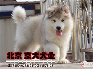 熊版纯种阿拉斯加犬三个月赛级阿拉斯加幼犬出售京