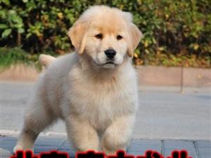 大�^金毛犬北京市三��月金毛幼犬出售