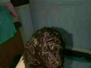 巧克力色泰迪幼犬找新家