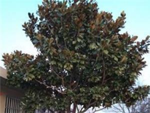 出售廣玉蘭樹一棵