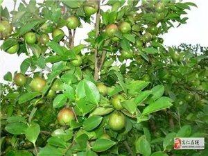 为民榨油坊 长期供应现榨茶油和浓香菜籽油!
