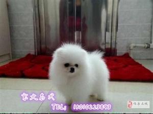 ��博美犬球�w��N博美幼犬出售北京市博美犬舍