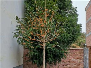软籽石榴、红豆杉、桂花苗木出售