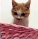 小猫一只,6个月大,白色加橘背点缀。赠送