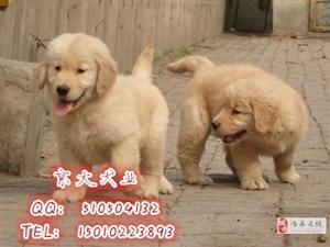 纯种金毛犬北京市金毛价格金毛犬舍