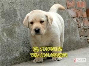 纯种拉布拉多犬/导盲犬小带血统/颜色齐全