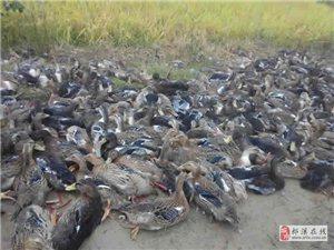 郎溪李氏禽业专业经营鸡苗、鸭苗、鹅苗,饲料出售等!